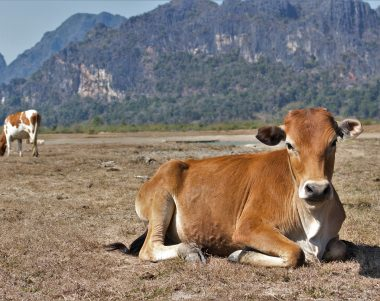 cow lying on drying grass
